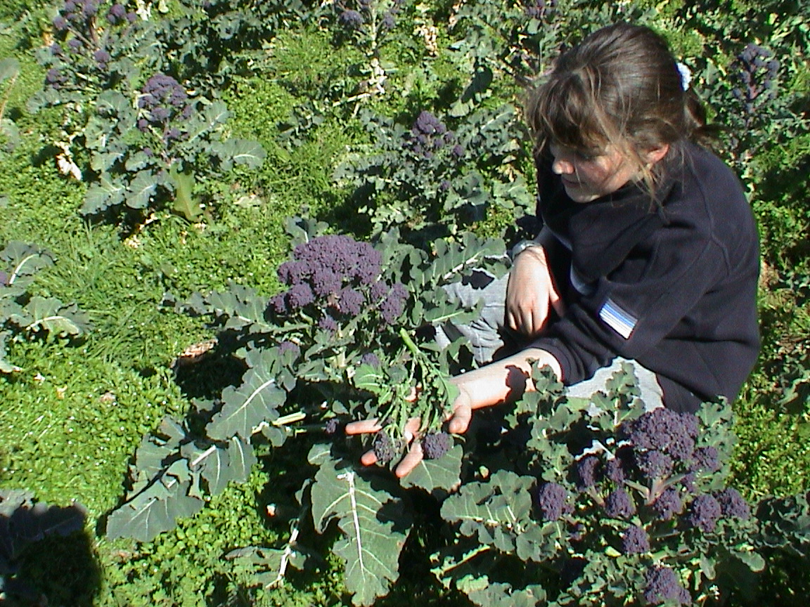 Grace checks the quality of purple sprouting - 2002.