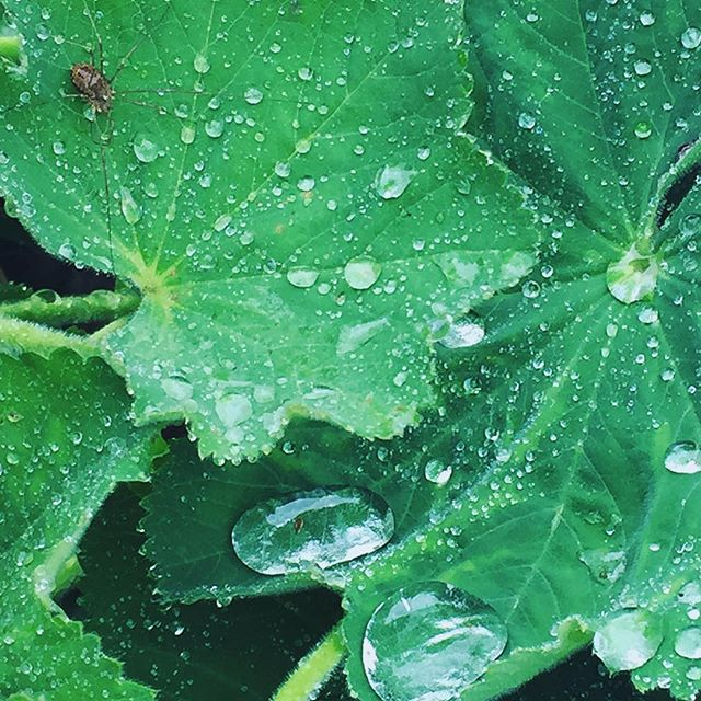 Spider on a rainy leaf  #nature #leaf #rain #drop #macro #spider #green #park #raining #detail #relaxing #soundinspiration #soundshade