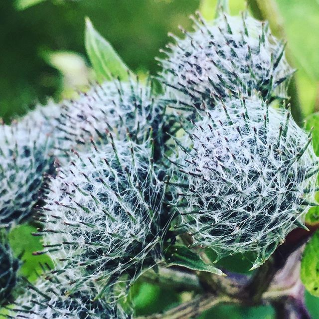 Sticky things  #flowers #burdock #summer #detail #macro #soundshade