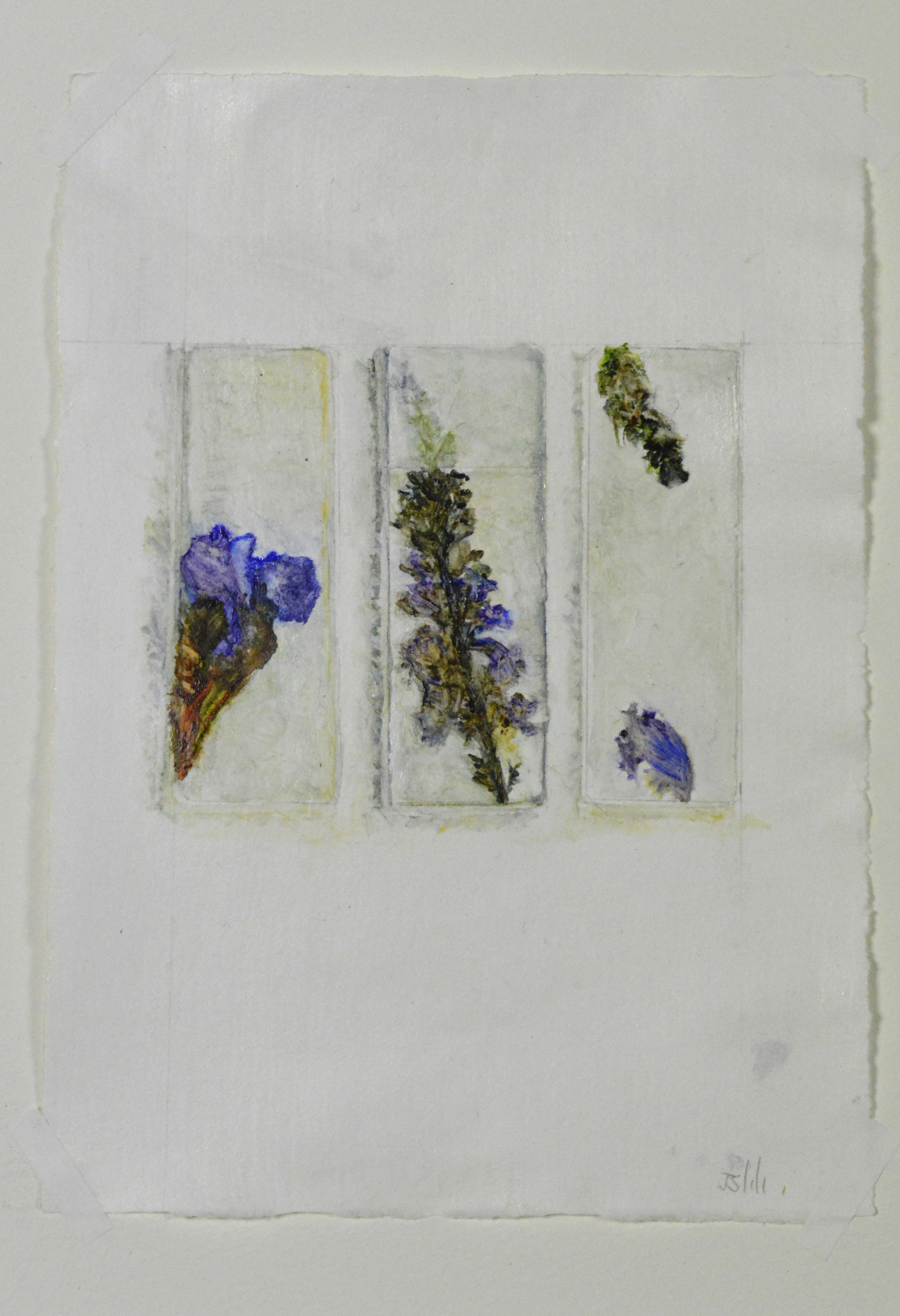 Anthophora furcata, fork tailed flower bee, habitat