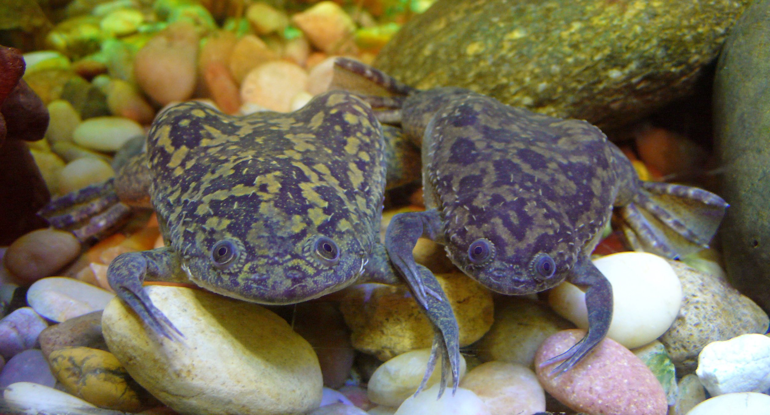 The aquatic frog  Xenopus laevis .  Via  Wikipedia Commons .