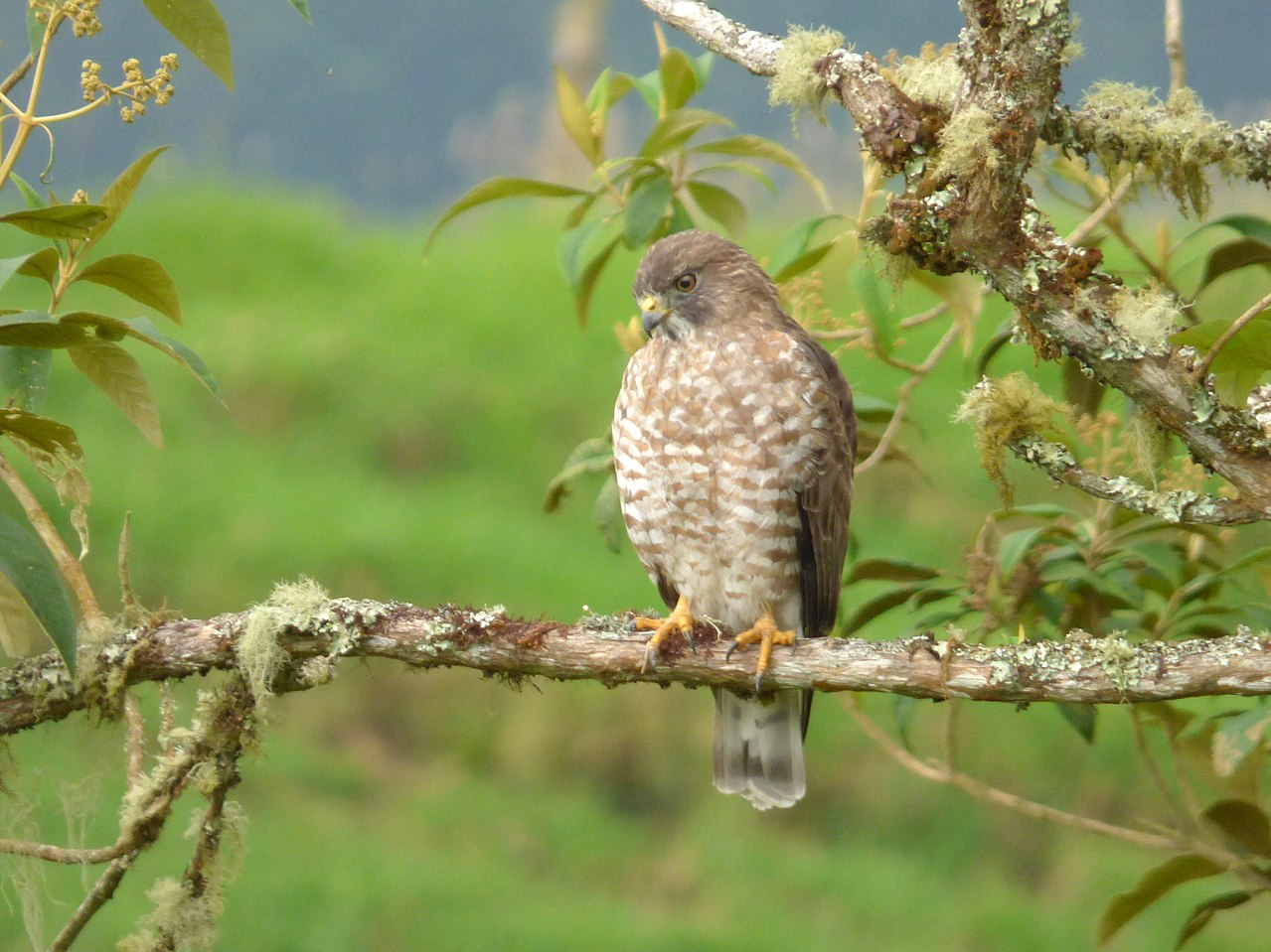 Broad-winged hawks (Buteo platypterus) are pretty common around here. Photo credit: Alejandro Bayer Tamayo via Wikipedia Commons .