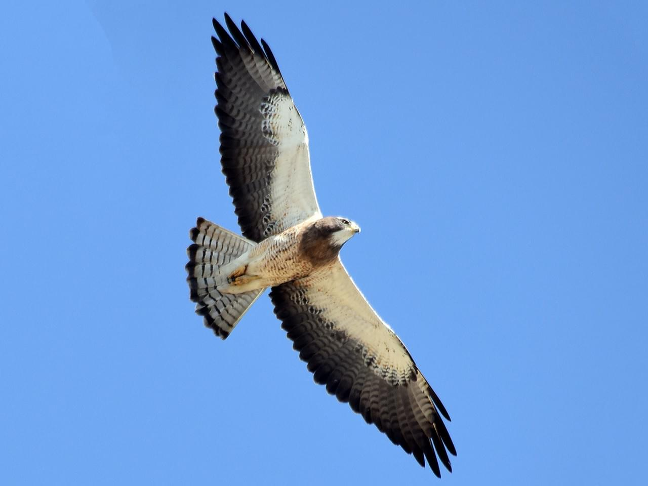 Soaring Swainson's hawk ( Buteo swainsoni ).  The dark bib and dark trailing edges of the wings are the telltale marks of a Swainson's.  Photo credit:  Steven Mlodinow via Macauley Library .