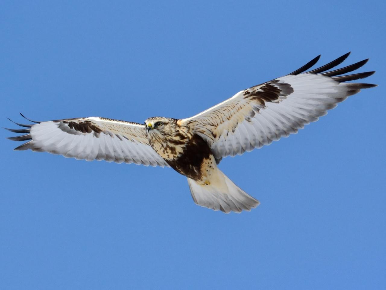 The winter hawk, a rough-legged hawk ( Buteo lagopus ). The dark carpal patches and belly band are their diagnostic features.  Photo credit:  Rodney Crice via Macauley Library .