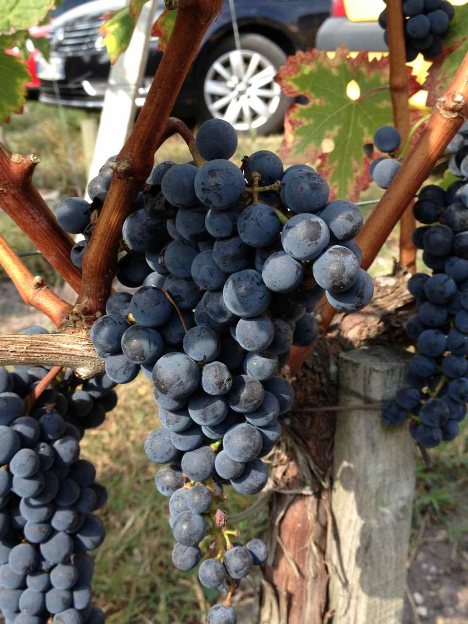 HOME - grapes.jpg