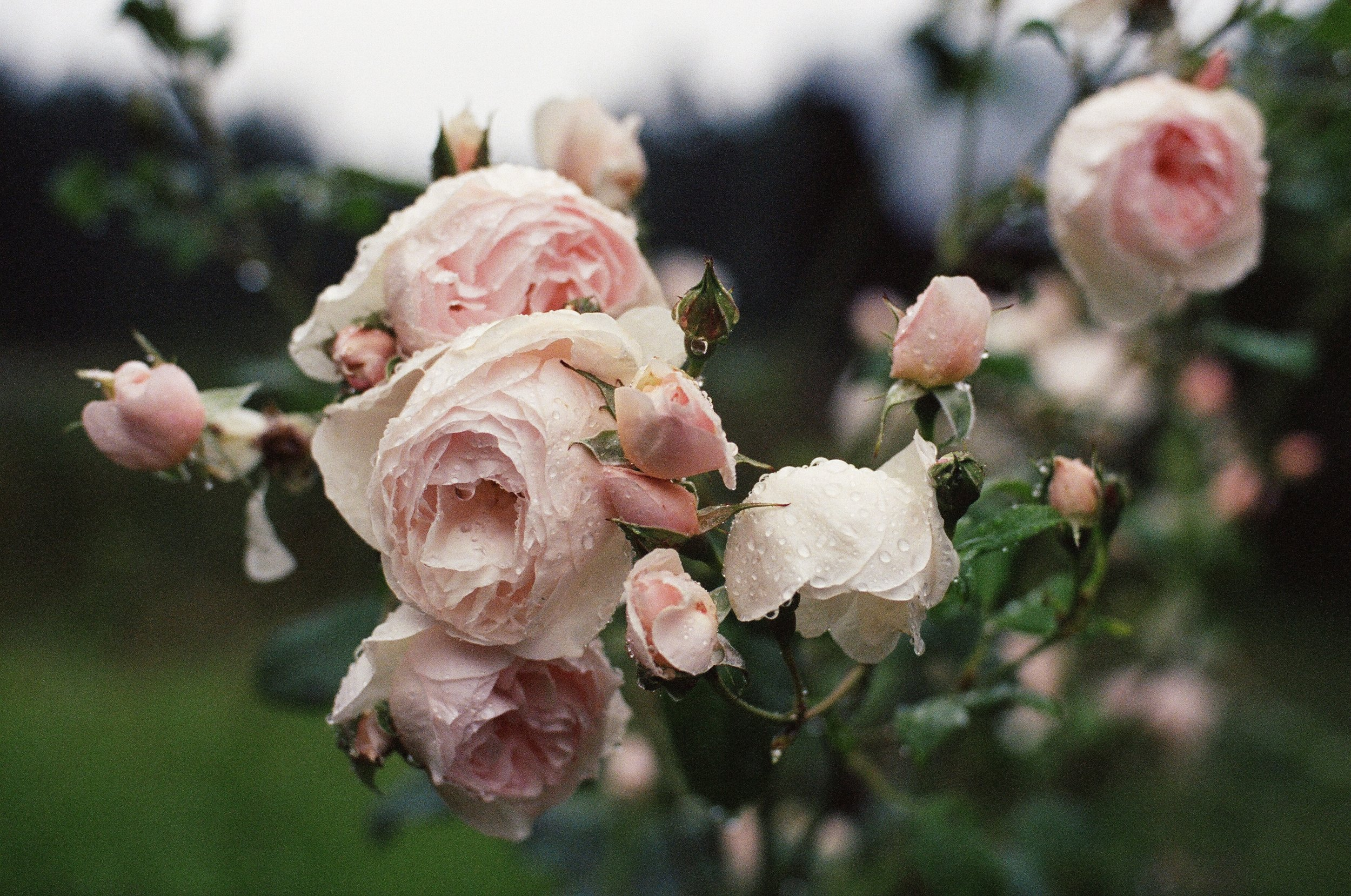 Raindrops on Roses by Siri Thorson