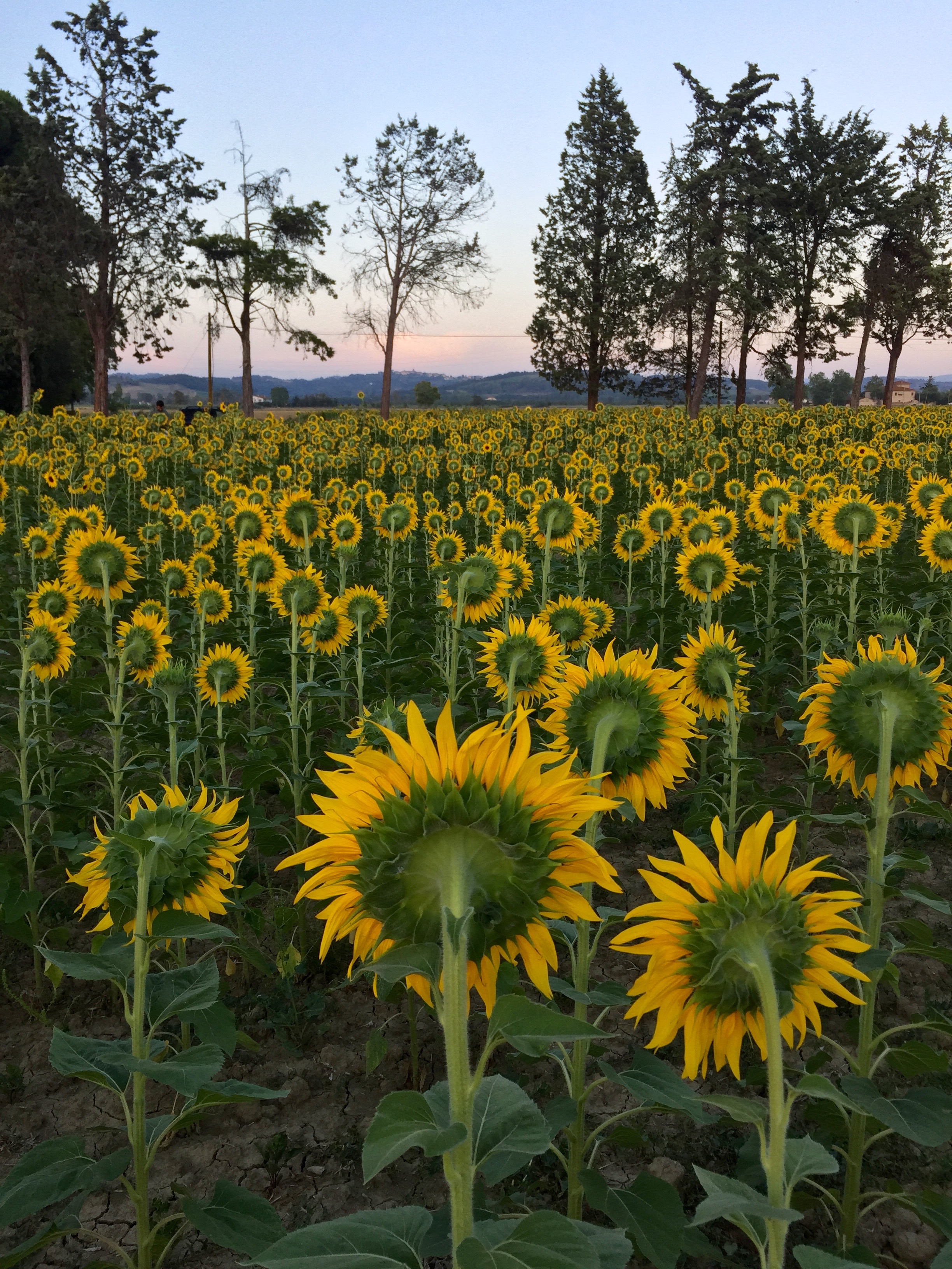 Sunflowers near Capannoli by Siri Thorson