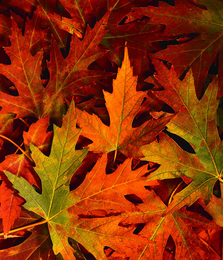 Autumn tree 2.JPG