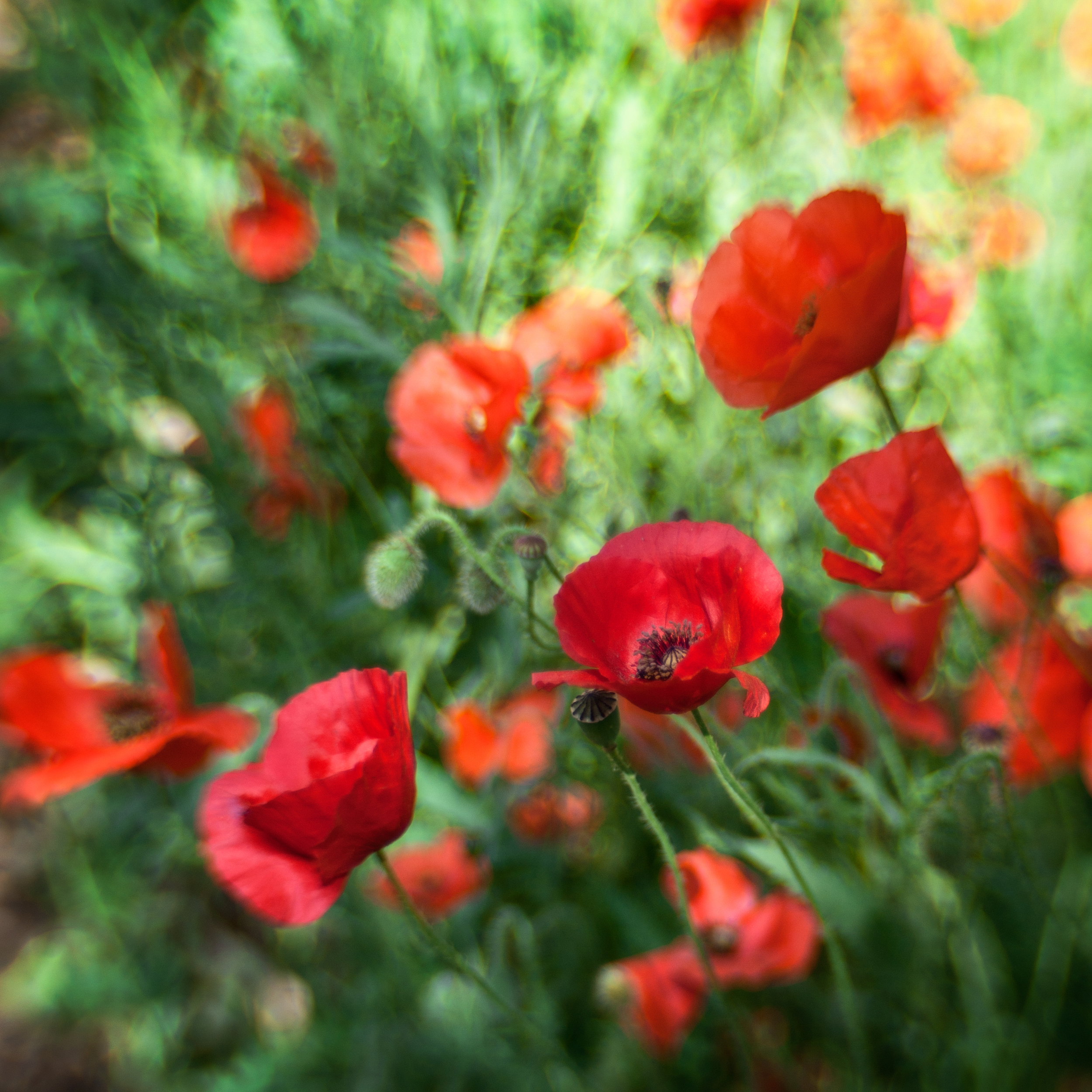 """ Poppies Squared "" by  Anne Worner  IS LICENSED UNDER  CC BY-SA 2.0 ."