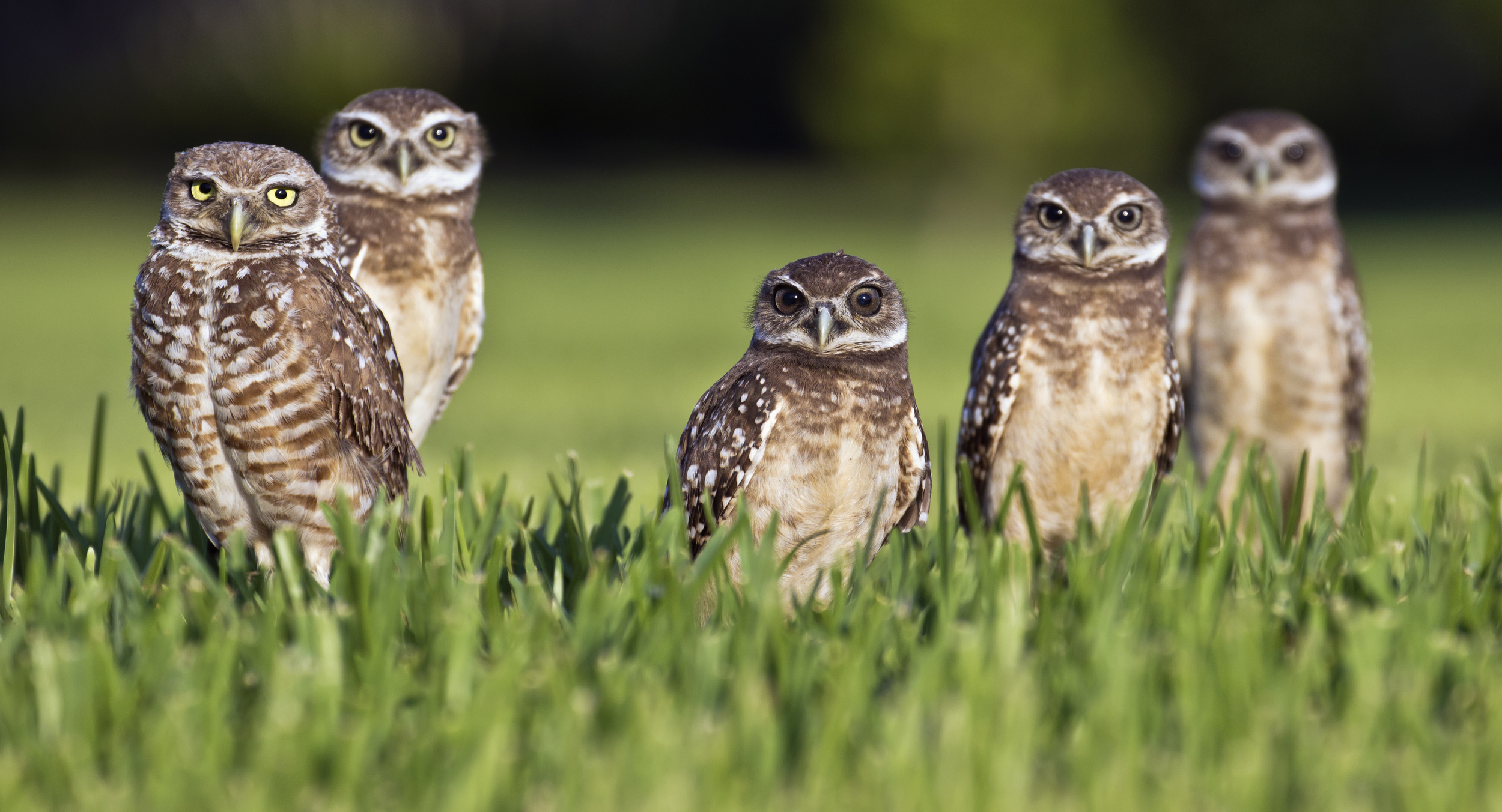 """"""" Five Burrowing Owls  Athene cunicularia floridana , Florida """" by  travelwayoflife  is licensed under  CC BY-SA 2.0 ."""