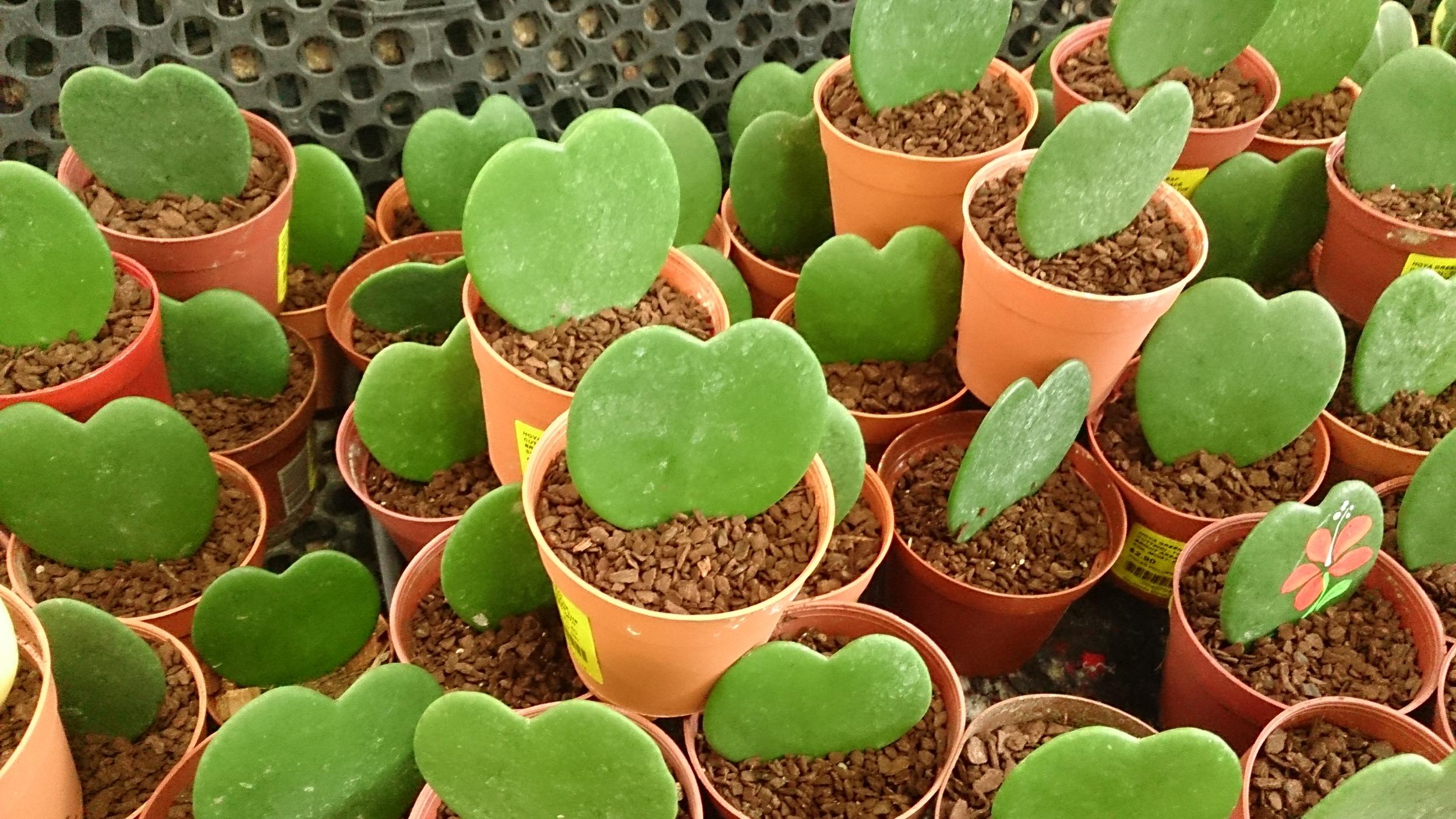 """"""" Valentine Hoya (Hoya kerrii) """" BY Mokkie IS LICENSED UNDER  CC BY-SA 3.0 ."""