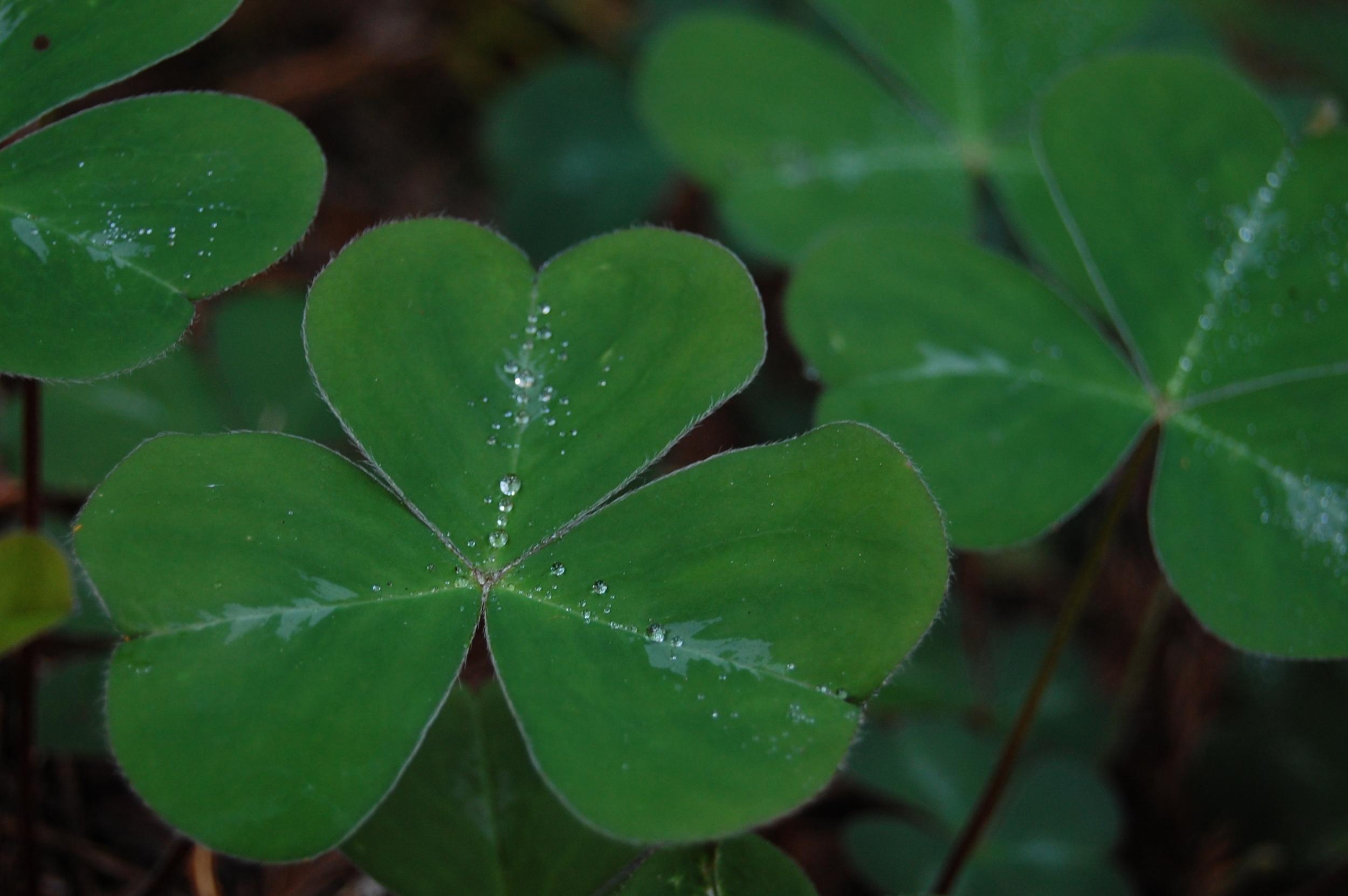 """ Shamrock Leaf "" by  Erik fitzpatrick  IS LICENSED UNDER  CC BY 2.0 ."