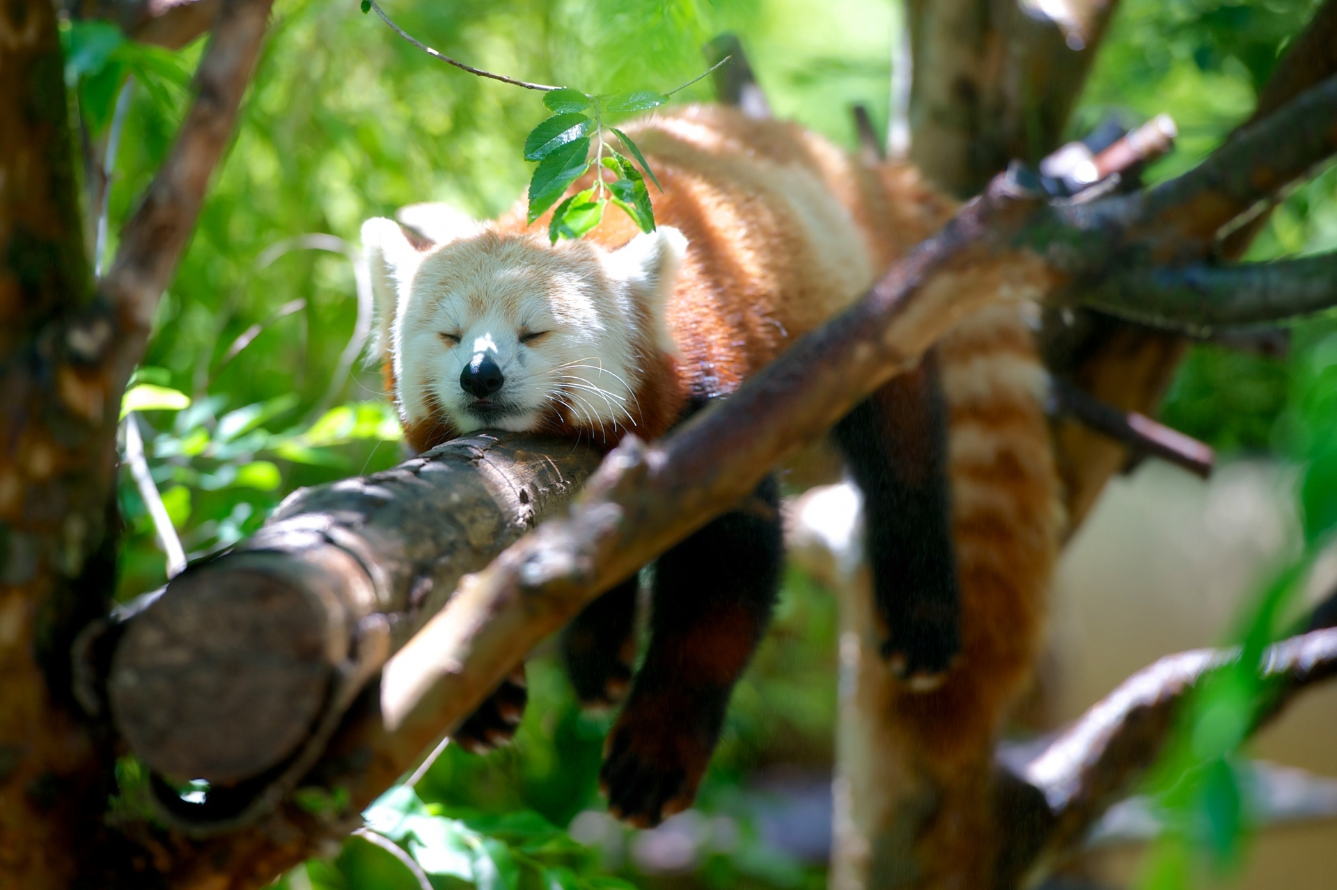 """ Red Panda "" by  Kevin Phillips  is  public domain ."