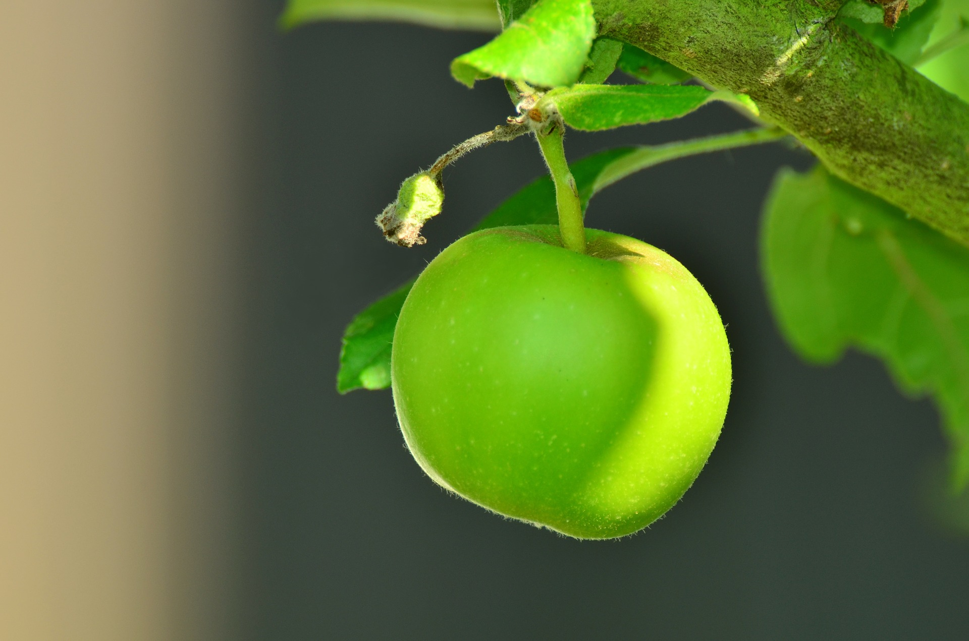 """"""" Apple, Green Apple, Tree """" by  condesign  is  public domain ."""