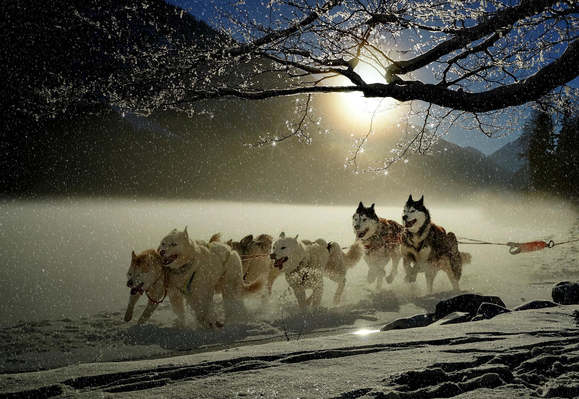""" Dogs, Huskies, Animal, Dog Racing "" by  Anja  is  Public Domain ."