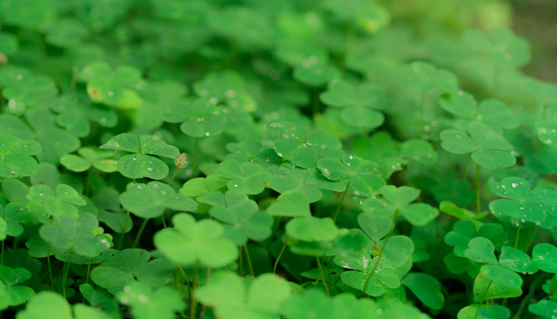 """ Klee, shamrocks, luck, nature "" by  Kathleen Bergmann  is  Public Domain ."