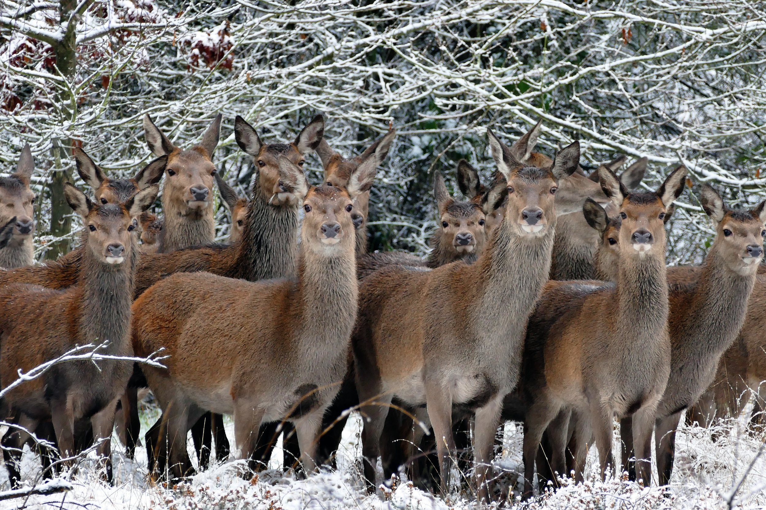 """ Animals, close up, cold, deers "" by  Anthony  is licensed under the  Pexels licence ."