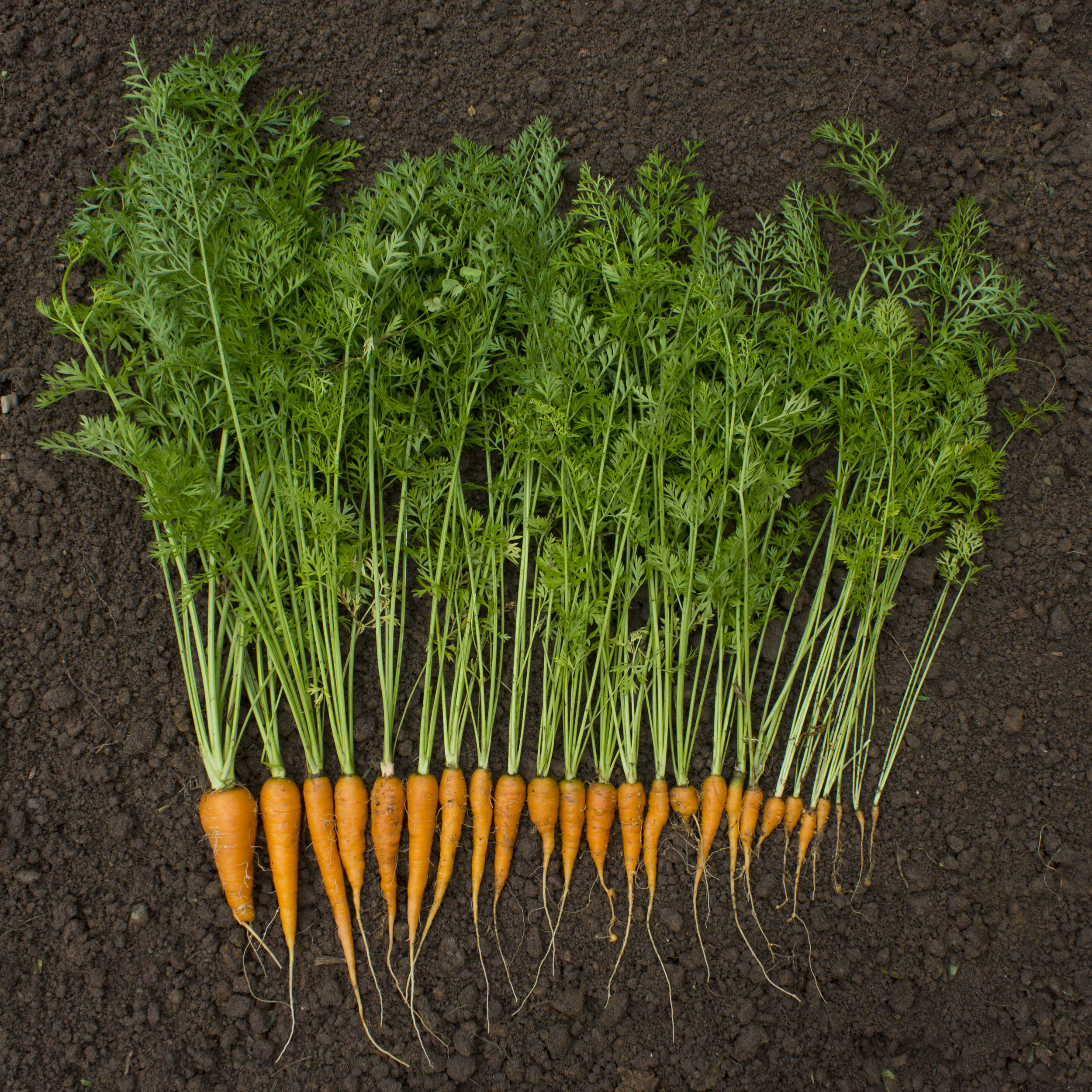 """ Carrot harvest "" by  woodleywonderworks  is licensed under  CC BY 2.0 ."