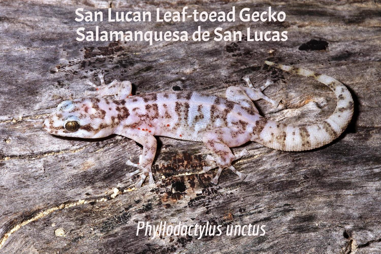 San Lucan Leaf-Toed Gecko / Salamanquesa de San Lucas