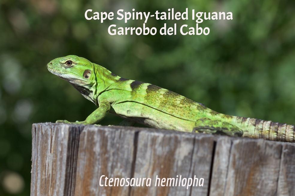 Cape Spiny-Tailed Iguana / Garrobo del Cabo