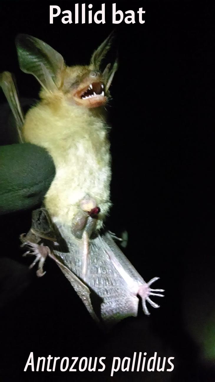 Palid Bat