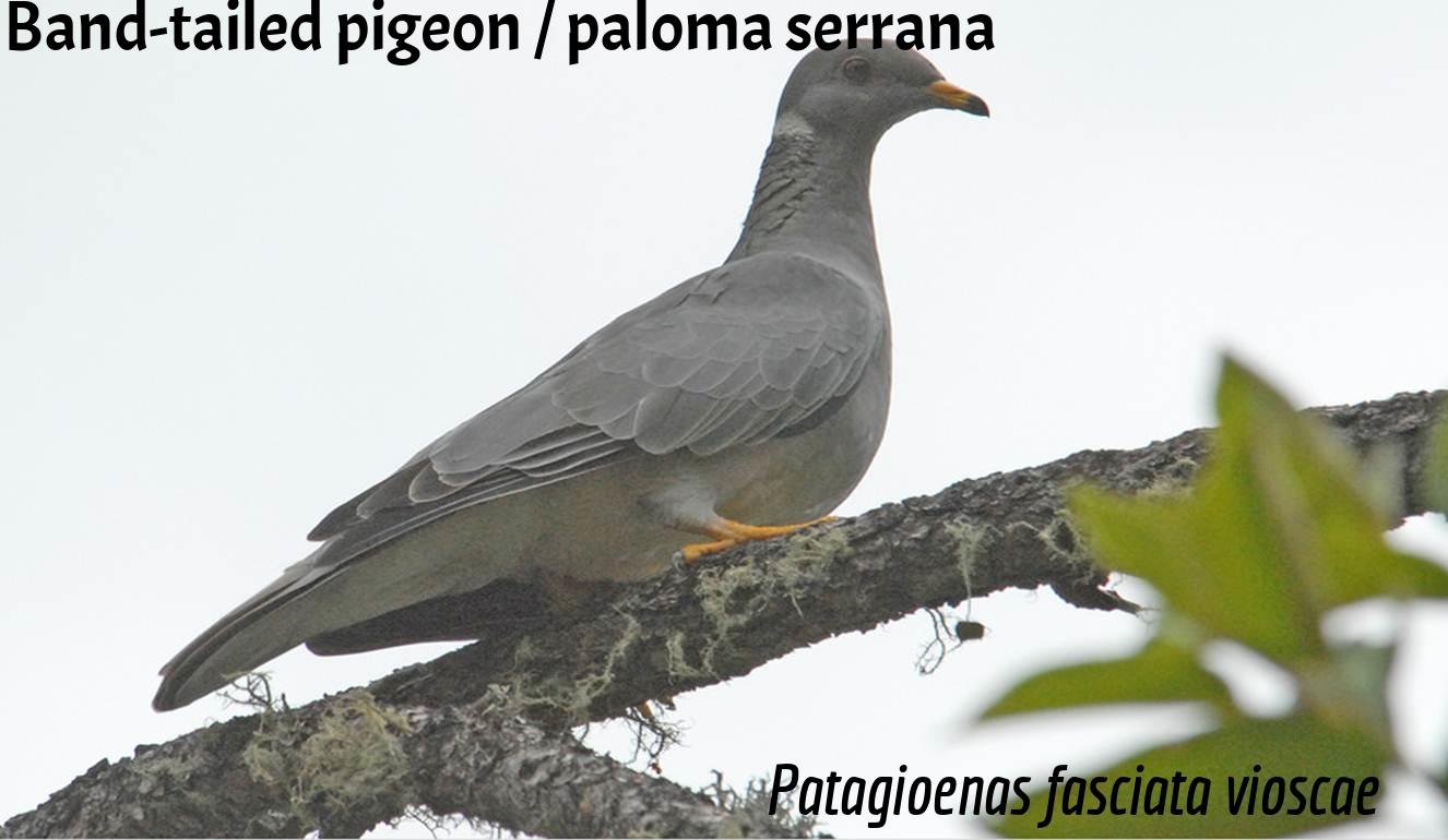 Paloma serrana