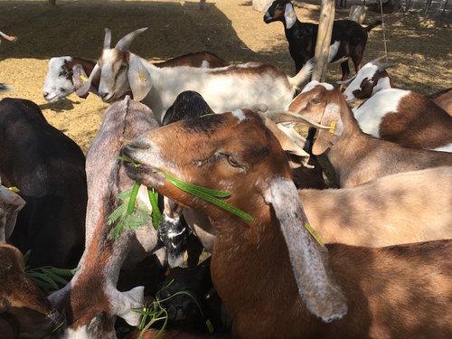 cabras Nubias — Rancho Dos Hermanos