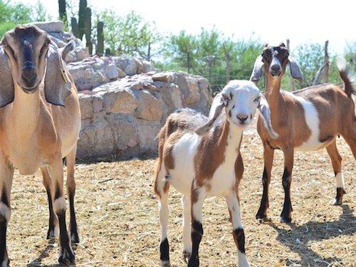 Rebaño de Cabras Nubias - Ganadería