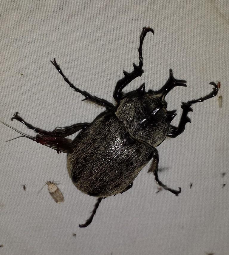 Escarabajo Rinoceronte Gigante