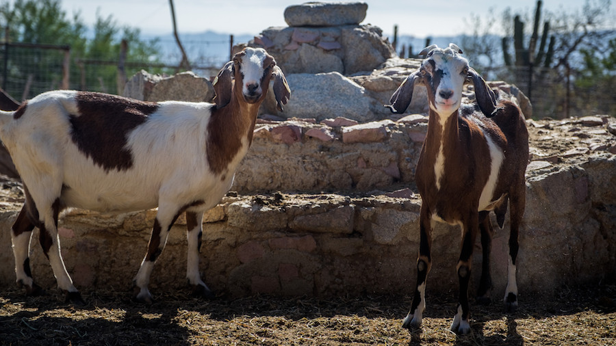 Nubian Goats — Cheesemaking in Mexico