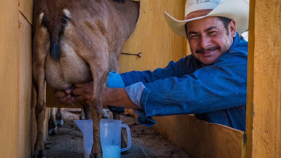 Hand-Milking — Artisanal Cheese Production