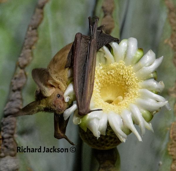 Pallid Bat Feeding on Cardon Flower