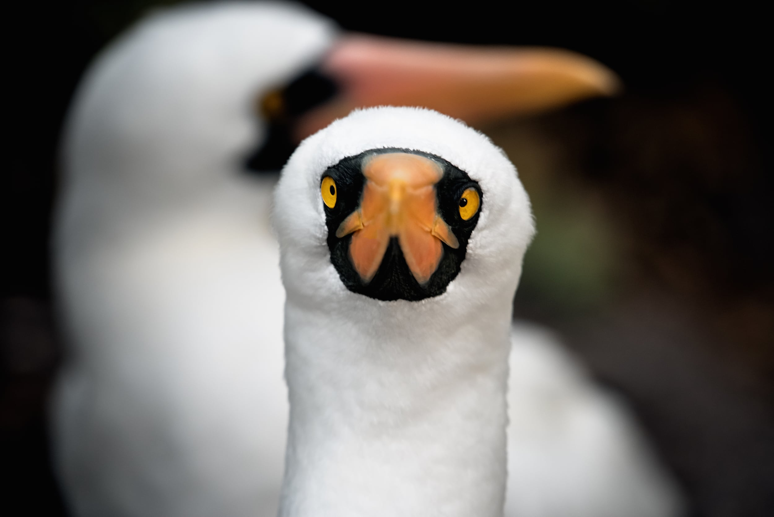 Portrait of a booby
