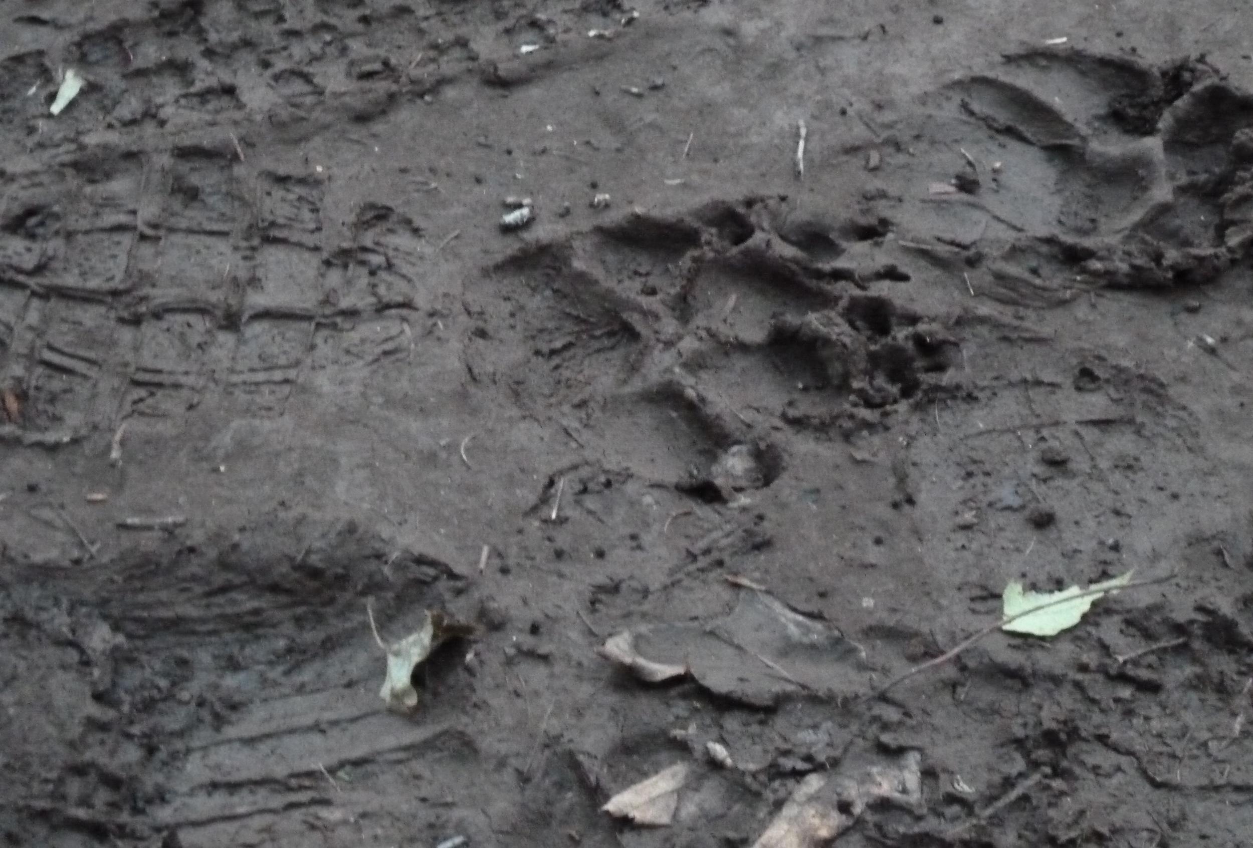 Bear paws + adult hiking boot print