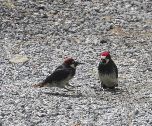 Notice bird on left is hopping--hoping to impress bird on right?