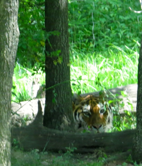 The tigers were moving very slowly, and lounging in the shade. Clever beasties.