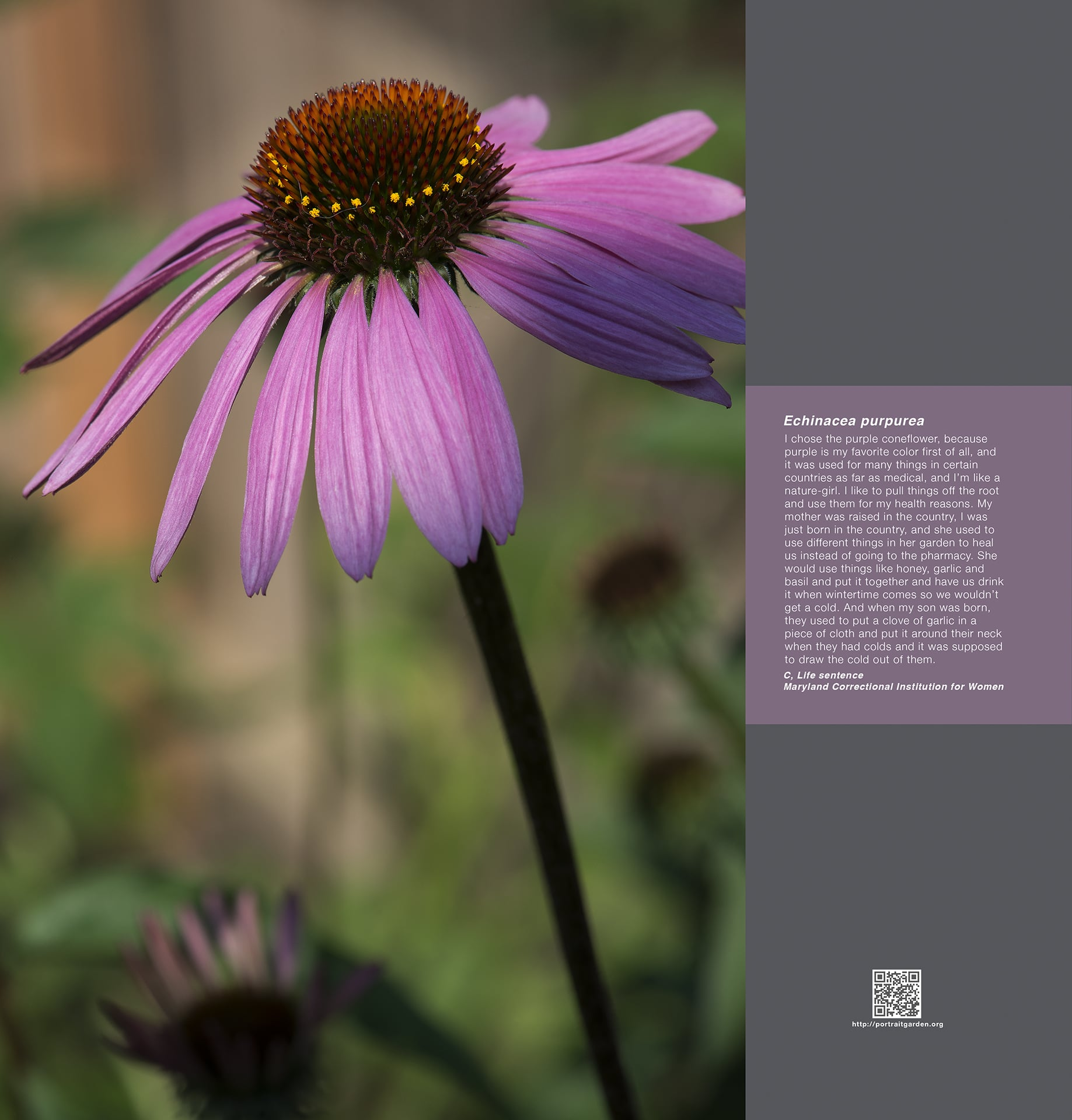 Portrait Garden (C, Enchinacea purpurea)