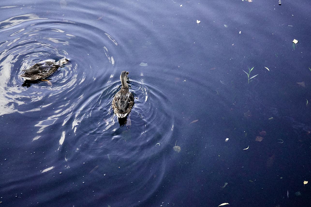 092914_Ducks.jpg