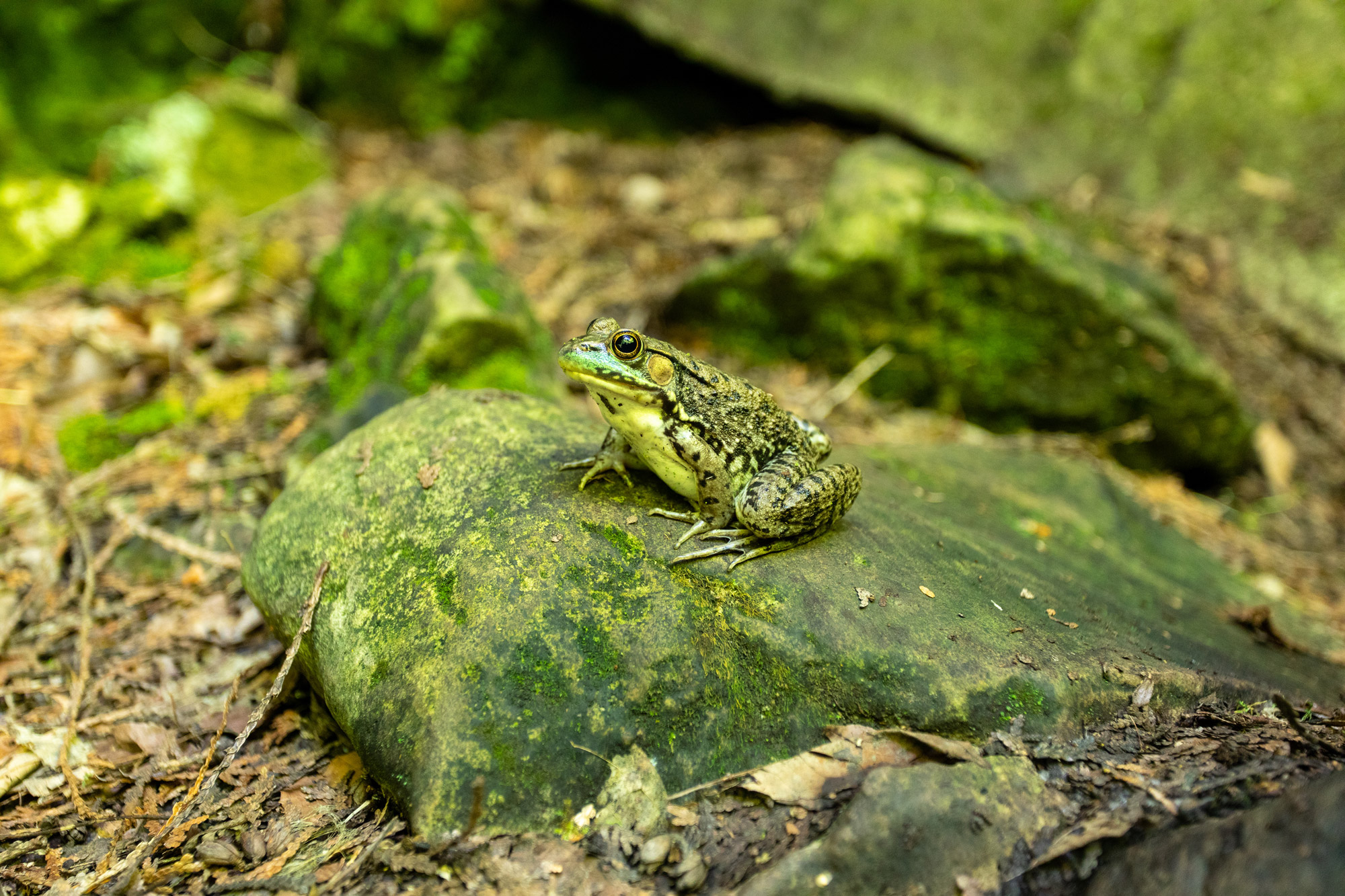 I was able to get surprisingly close to this frog with a 40mm lens