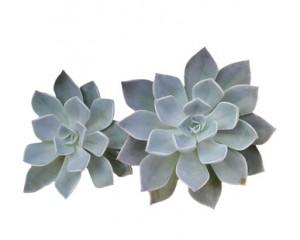 succulents-300x240.jpg