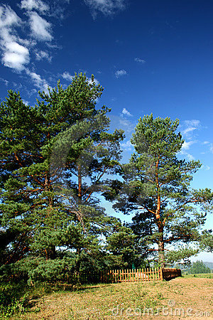 https://www.dreamstime.com/stock-photo-three-pine-tree-blue-sky-background-image70109760