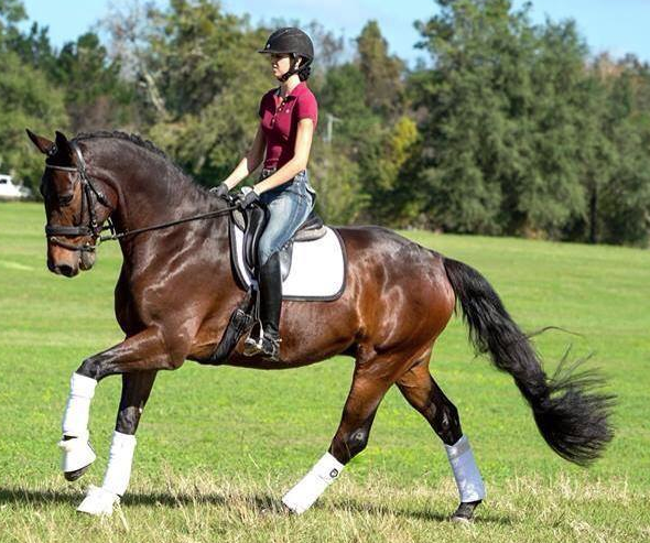 This is Anna riding Fortunatus. They were high point of show in their second competition with a 78% at First Level!
