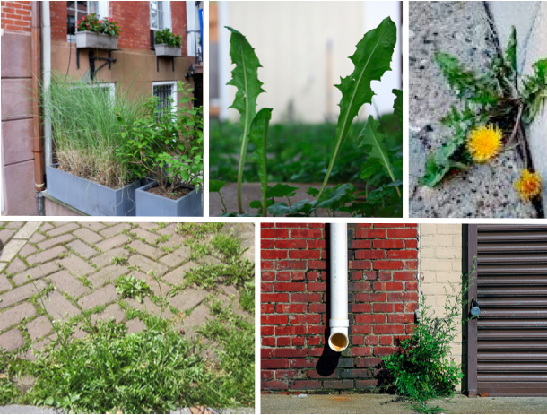 You can can safely forage wild edibles in urban environments if you know what to look for and where to look.