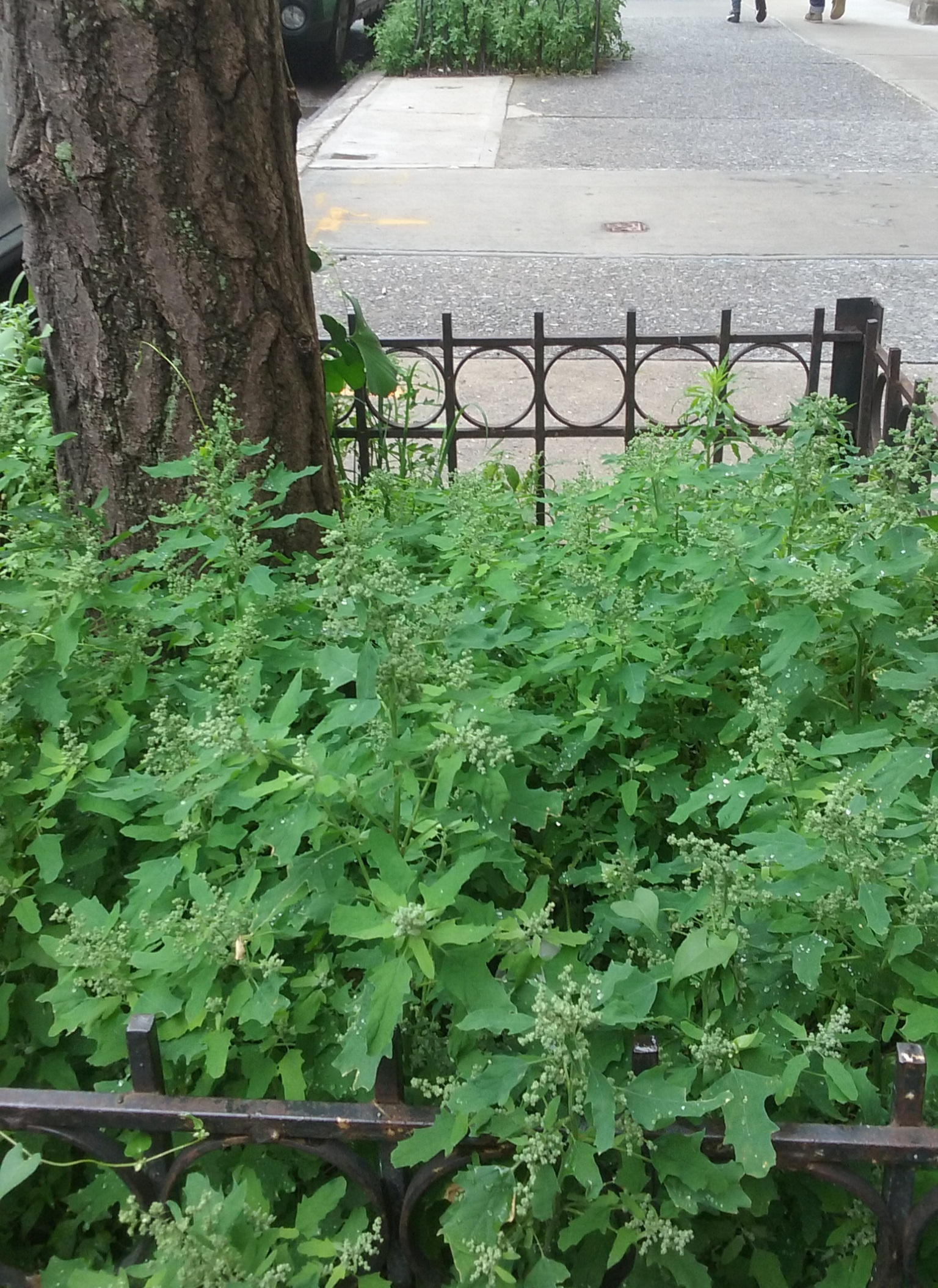 Lamb's Quarters Growing in a Tree Pit NYC