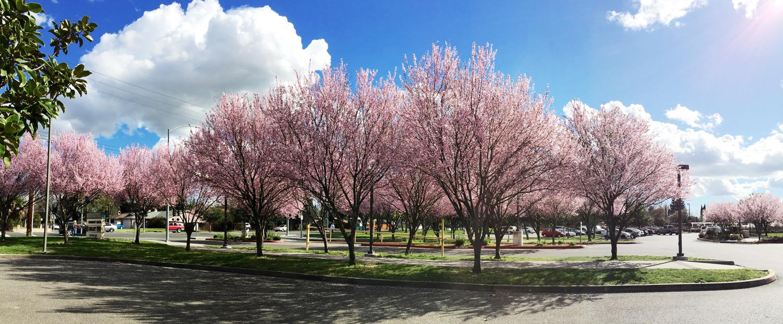 Sacramento Cherry Blossoms | Stephen Grant Photography