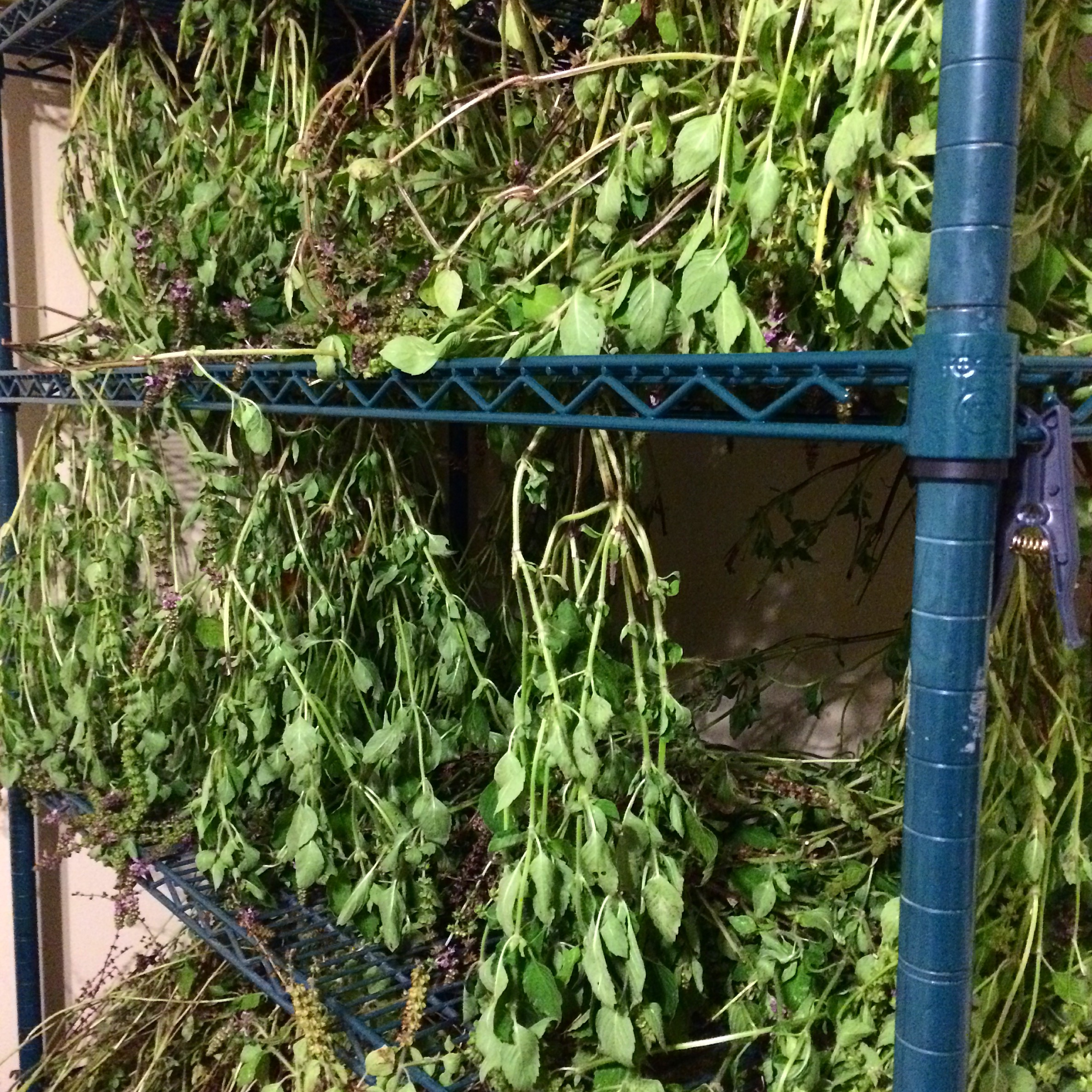 Extra herbs can be dried for tea.