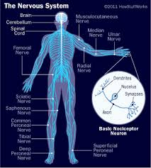 Picture of the human nervous system, nervous system quizzes, nervous system quiz