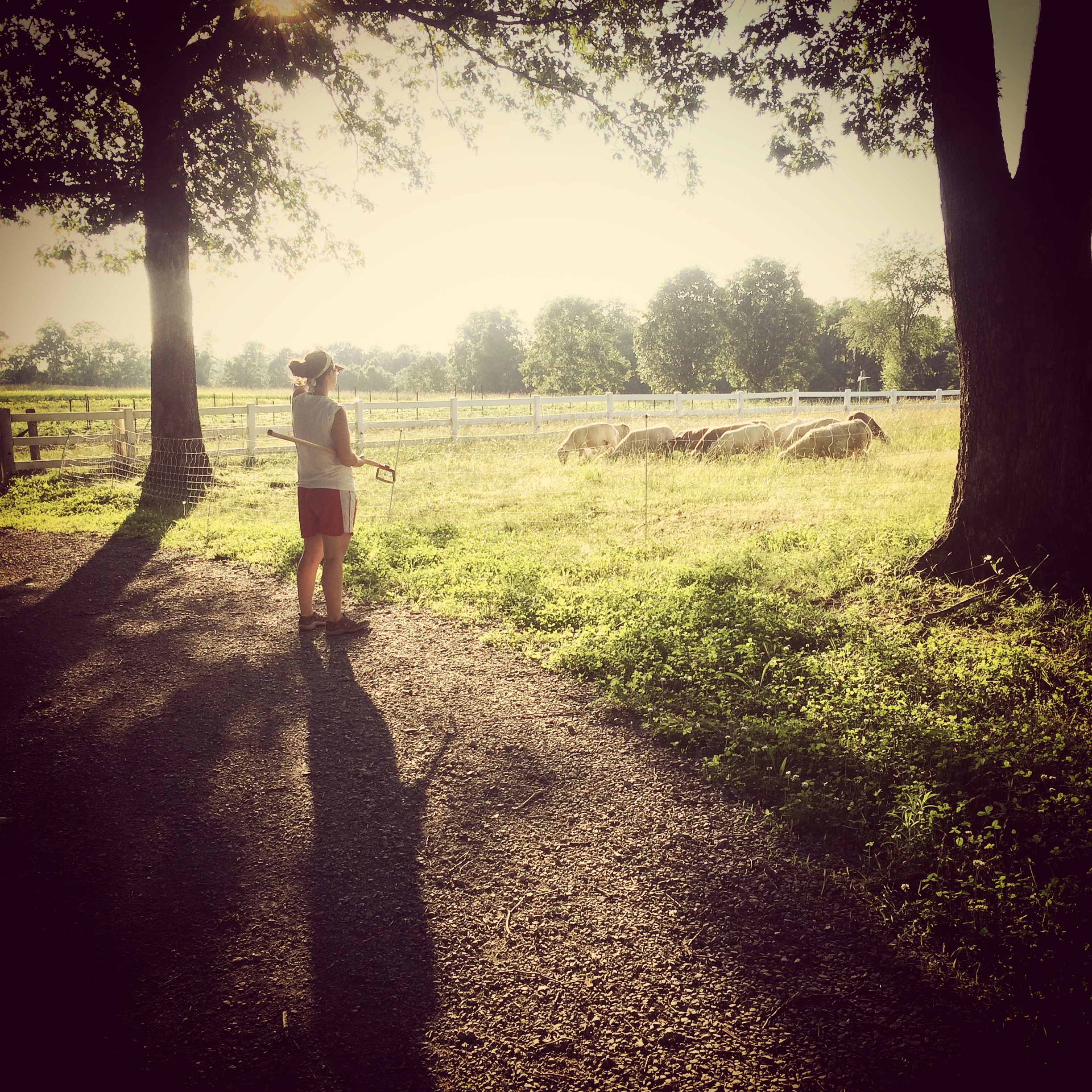 Megan admiring the sheep on our way to how out the cukes and squash!