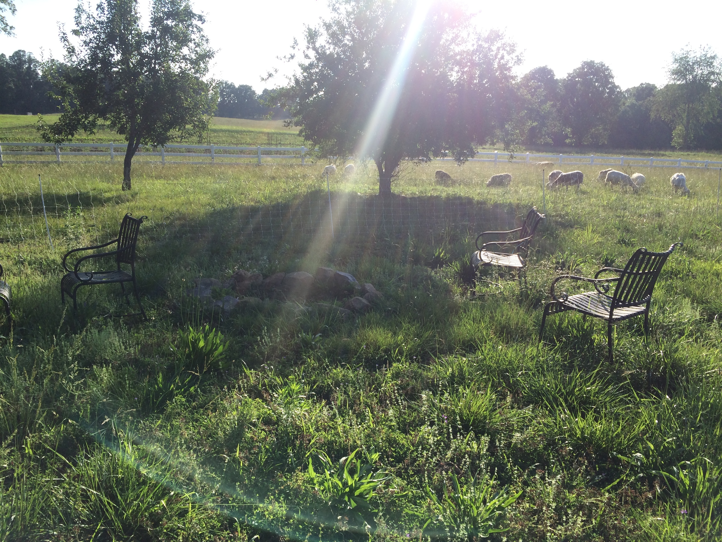Sheep in the front yard so we have a nice view of the lambs