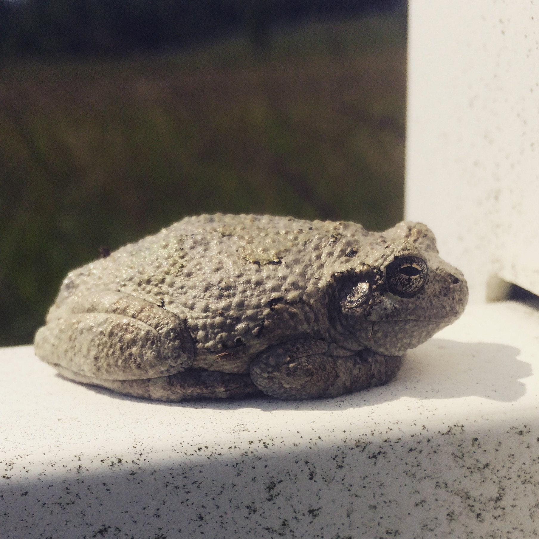 Gray Tree Frog found on our fence